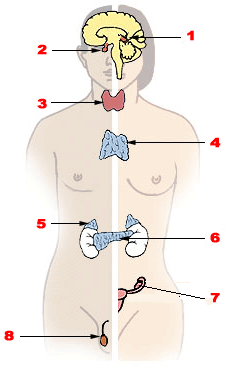https://upload.wikimedia.org/wikipedia/commons/d/da/Illu_endocrine_system.png